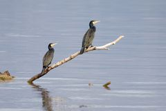 Cormorants Resting Royalty Free Stock Photo