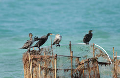 Cormorants resting on fishing net Stock Images