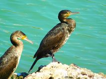 Cormorants resting on a rock of the sea royalty free stock photo