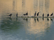 Cormorants resting, with reflection Royalty Free Stock Photos