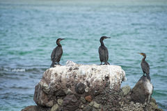 Cormorants while resting on rocks Royalty Free Stock Image