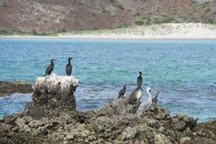 Cormorants while resting on rocks Stock Photos