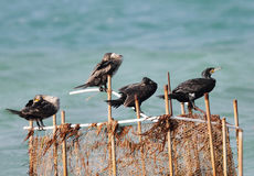 Cormorants resting and sleeping Stock Photos