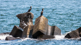 Cormorants on rocks offshore Royalty Free Stock Images