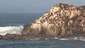Cormorants on the rocks Westcoast, California, United States stock video