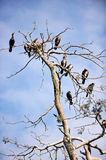 Cormorants roosting Stock Photo