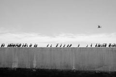 Cormorants in a Row. A row of cormorants on concrete Stock Images