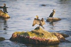 Cormorants at Sea Royalty Free Stock Photos