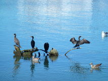 Cormorants & Seagulls in SF Bay Stock Image