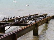 Cormorants or shags Royalty Free Stock Image