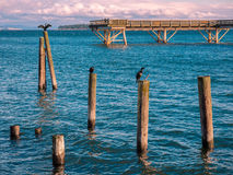 Cormorants sit on the piles near fishing pier in  Sidney, Vancou Stock Photo