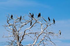 Cormorants sitting on bare tree Stock Image