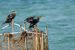 Cormorants sitting on the fishing net Stock Photo