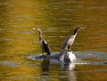 Cormorants. Sitting on a rock in the river Royalty Free Stock Photography