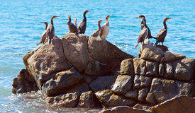 Cormorants on stone Stock Photography