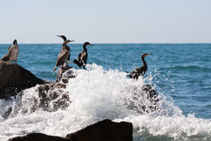Cormorants on stone in sea Stock Photography