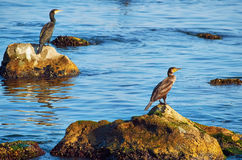 Cormorants on the Stones Royalty Free Stock Photos