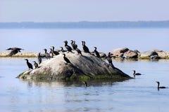 Cormorants sulla pietra Fotografie Stock