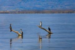 Cormorants sunbathing on branches Royalty Free Stock Photo