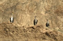 Cormorants sunbathing by the sea shores. At the Black Sea, in Romania Royalty Free Stock Image