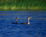 Cormorants Swimming. Two cormorants swimming in a lake stock images