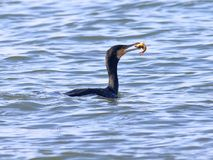 Cormorants to catch fish moment. Stock Images