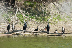Cormorants on tree branch above water Stock Photo