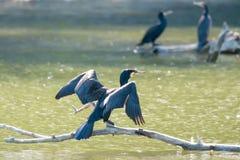 Cormorants on tree branches Stock Photos
