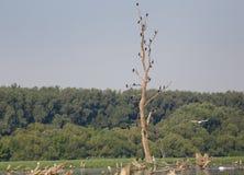 Cormorants on tree Stock Images