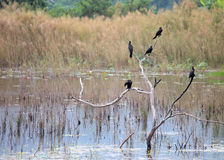 Cormorants on tree Royalty Free Stock Photos