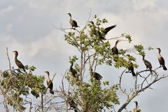 Cormorants in tree Saskatchewan Royalty Free Stock Photography