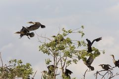 Cormorants in tree Saskatchewan Royalty Free Stock Photos