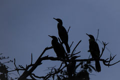 Cormorants on Tree, Silhouetted against Blue Dusky Sky Stock Image
