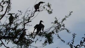 Cormorants in a tree stock footage