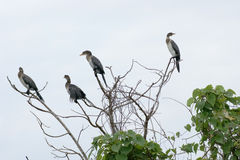 Cormorants on treetop Royalty Free Stock Photo