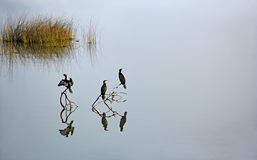 Cormorants Waiting to Fish Stock Image