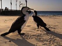 Cormorants walking on beach at Moreton Island, AU Royalty Free Stock Photo