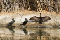 Cormorants By The Water Royalty Free Stock Photos