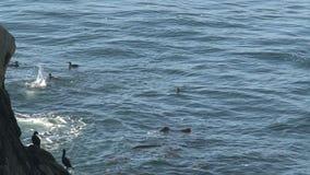 Cormorants at the Westcoast, California, United States stock video footage