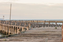 Cormorants on a wooden jetty Stock Image