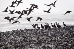 Cormorantsflyg Royaltyfri Bild