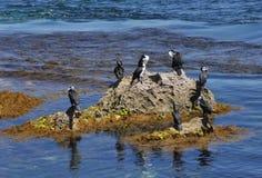 Cormorões Pied australianos: Cabo Peron, Austrália Ocidental Imagem de Stock