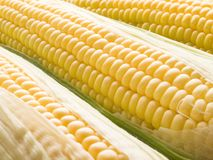 Corn. Royalty Free Stock Photo