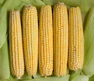 Corn. Ripening corn, �orn yellow background Royalty Free Stock Images
