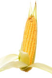 Corn. Raw and ripe corn on white background Stock Photography