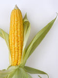 Corn. The golden corn in white background Stock Photography