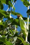 Corn. Against a blue sky Royalty Free Stock Photos
