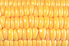 Corn. An ear of corn on the white background Stock Image