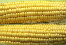Corn. Kernels close up. Pair Royalty Free Stock Image