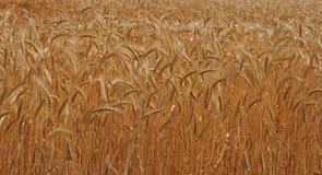 Corn. Ears of corn Stock Photo